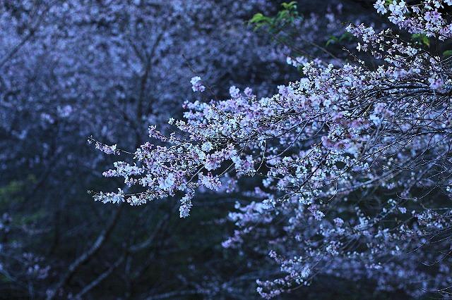 IMG_7132小原四季桜
