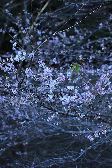 IMG_7130小原四季桜