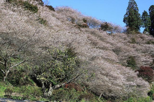 IMG_7144小原四季桜