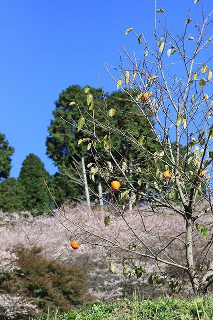 IMG_7152小原四季桜
