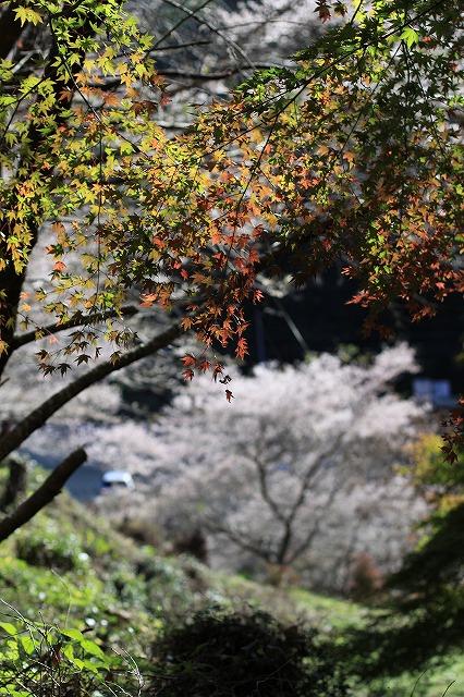 IMG_7153小原四季桜