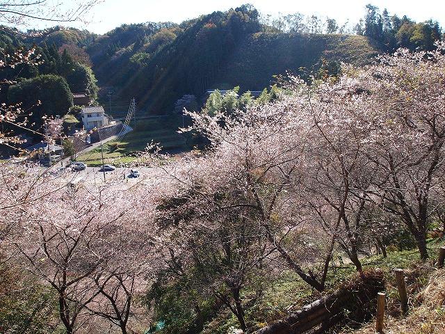 012小原四季桜