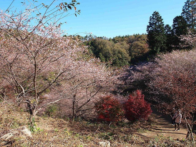 013小原四季桜