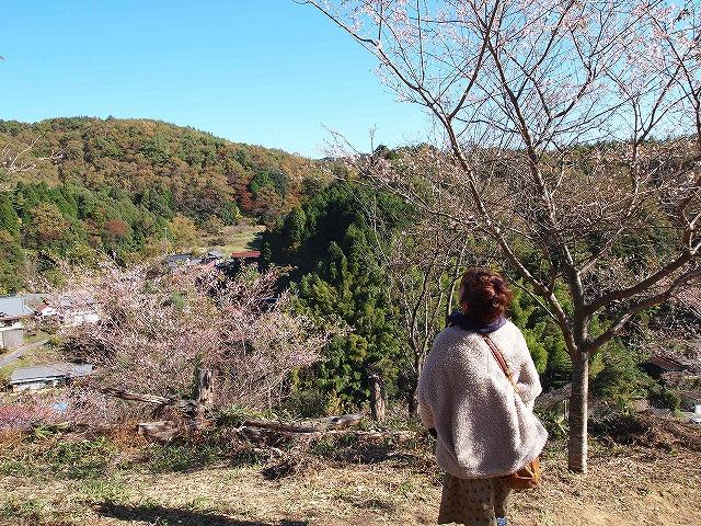 015小原四季桜