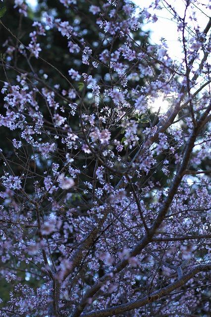 IMG_7177小原四季桜