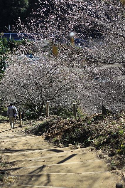 IMG_7181小原四季桜