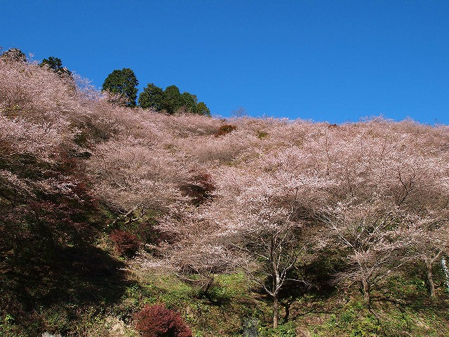 017小原四季桜