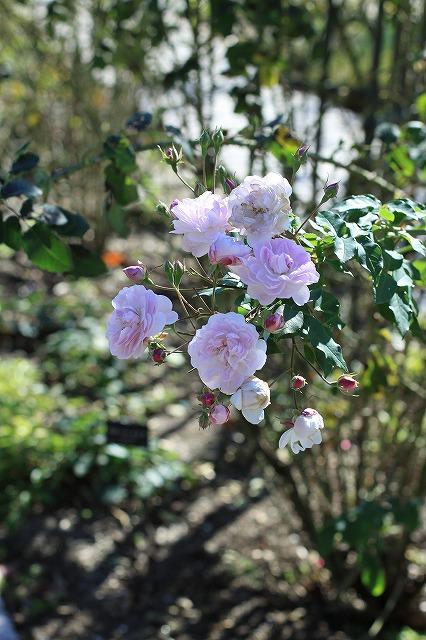 IMG_7265花フェスタ記念公園