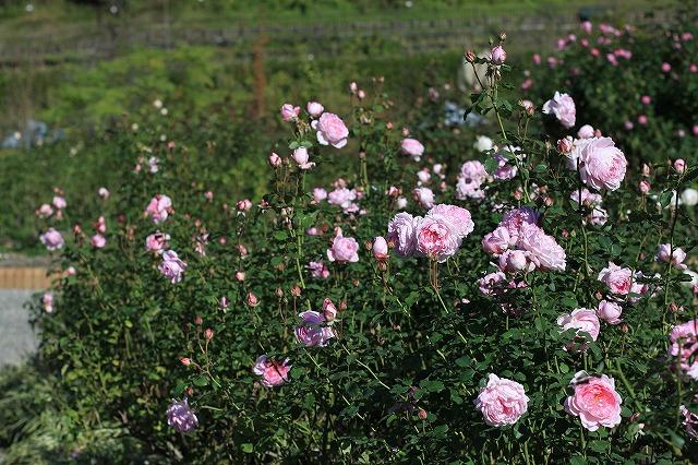 IMG_7283花フェスタ記念公園