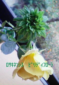 ロサ・キネンシス・ビリディフローラ
