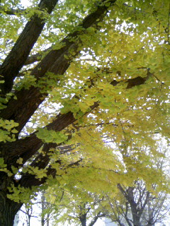 銀杏の葉っぱ♪