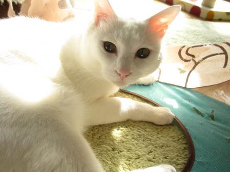 招き猫しろちゃん 物は考え様、頭は使い様、ボロボロキャットキューブを愛する猫
