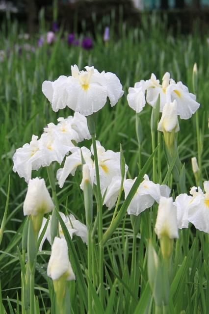 白色の花菖蒲