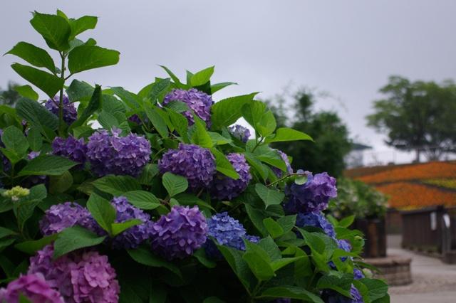 あじさいと斜面花壇