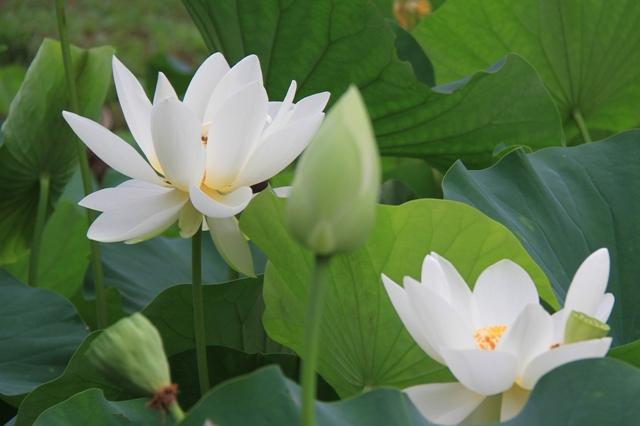 中井蓮池の里 白花