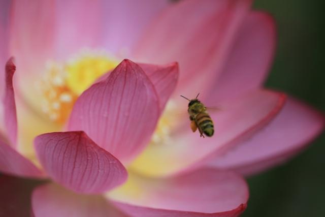 蓮とミツバチ