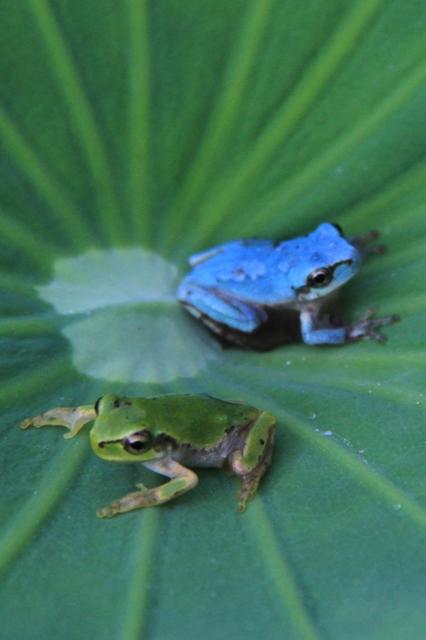 葉っぱの上の青いカエル
