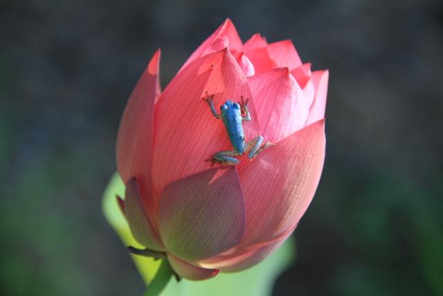 つぼみにつかまる青いカエル