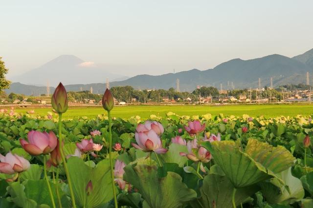 富士山と小鍋島の蓮田
