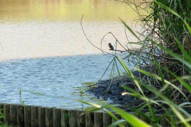 水面を見つめるカワセミ