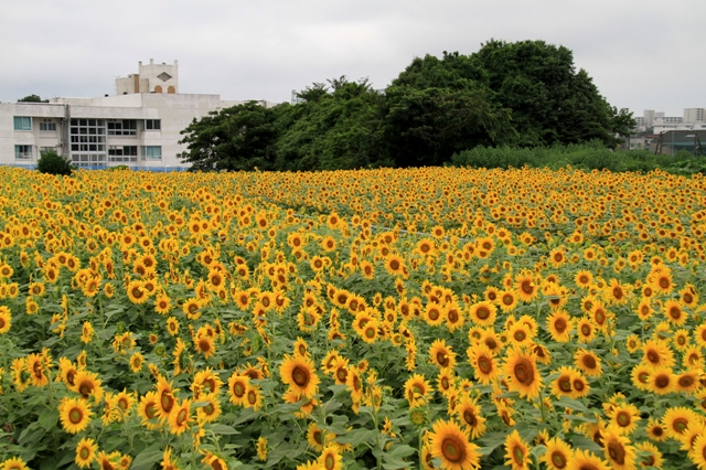県立座間総合高校とひまわり畑