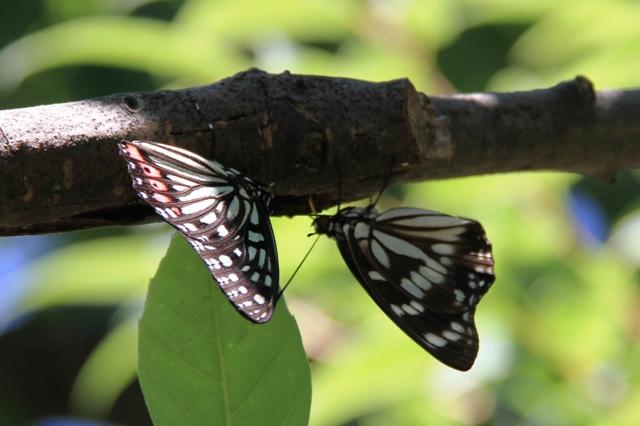 アカボシゴマダラ(左)とゴマダラチョウ(右)