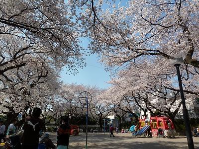 児童公園の桜♪