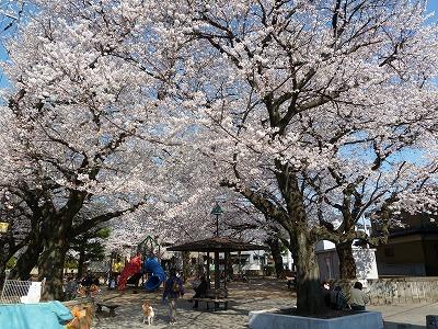 児童公園の桜♪♪