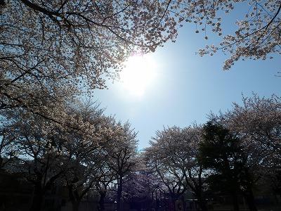 児童公園の桜♪♪♪