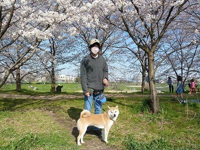 調節池の桜♪