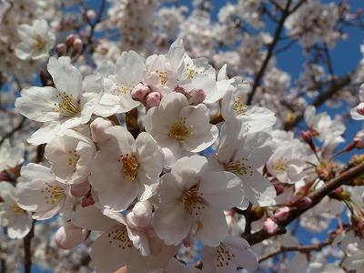 調節池の桜♪♪♪