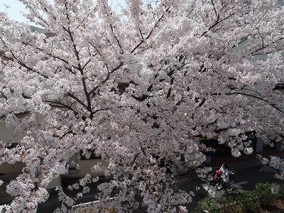 桜並木♪♪