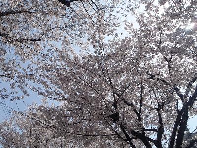 桜並木♪♪♪