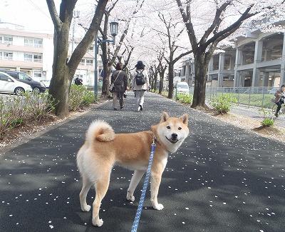 桜並木とあきの