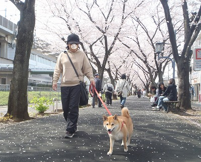 桜並木とななちゃん