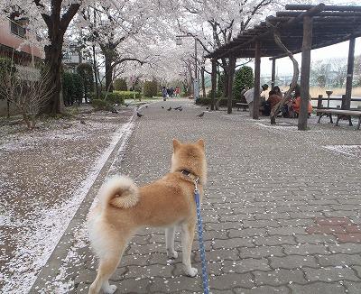 桜とあきの
