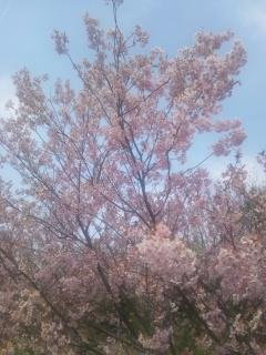 桜 2012・4月