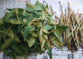 枇杷の若葉と若い枝