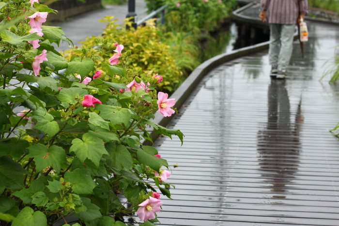 20110821江川せせらぎ遊歩道11