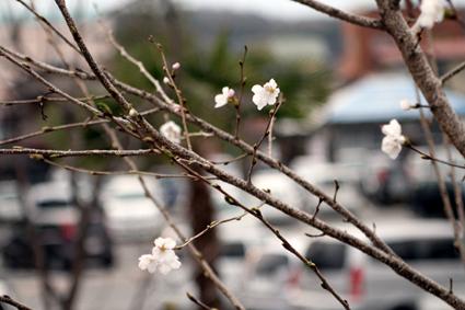 桜 2011春