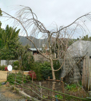 桜の記念樹の移植