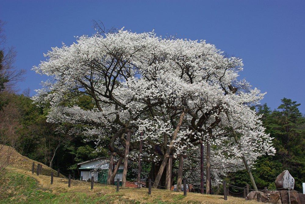 2007 大平桜