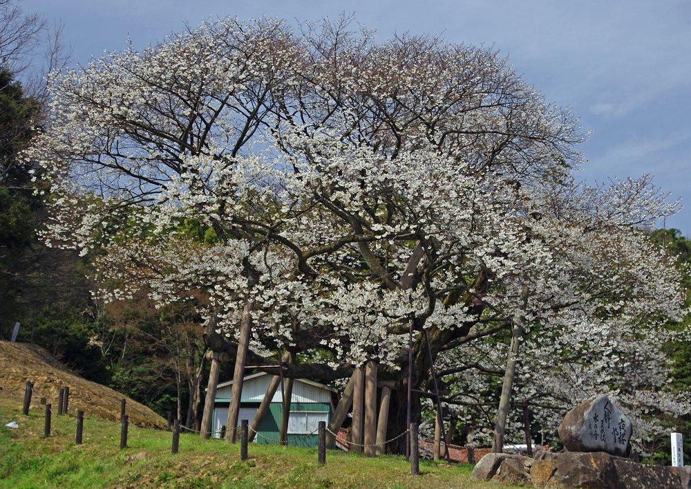 2011 大平桜