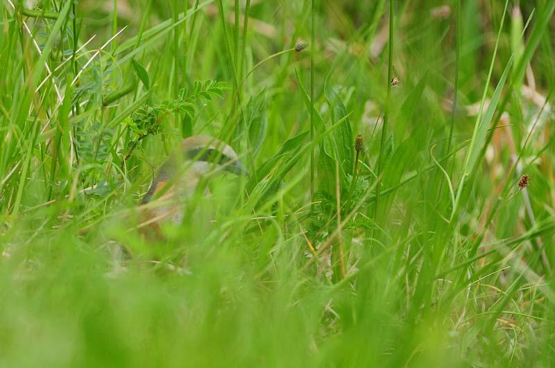 雑草の中のモズ