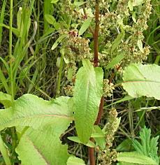 エゾノギシギシの葉