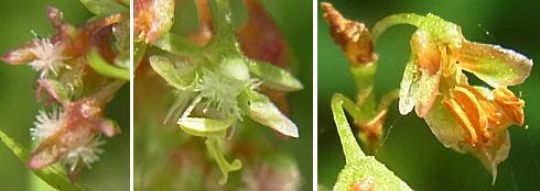 エゾノギシギシの花