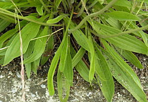 ヘラオオバコの葉