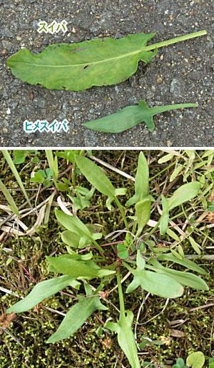 ヒメスイバの葉