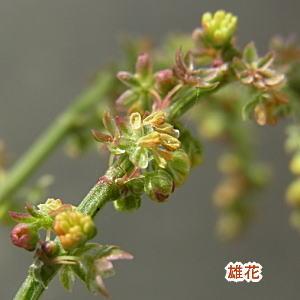 ヒメスイバの花