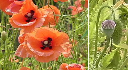 ヒナゲシの花と実